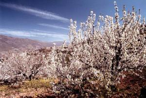 cerezos-en-flor-valle-jerte-turismo